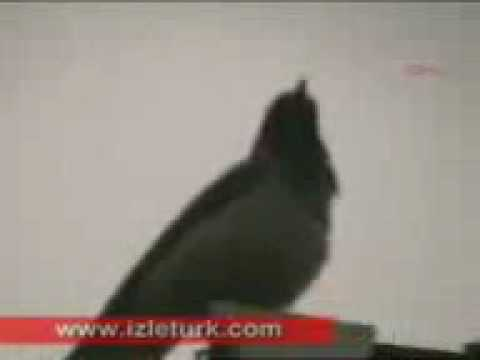 Corvine bird Calls upon Allah name 7 timez then turns his head to the right and .3gp