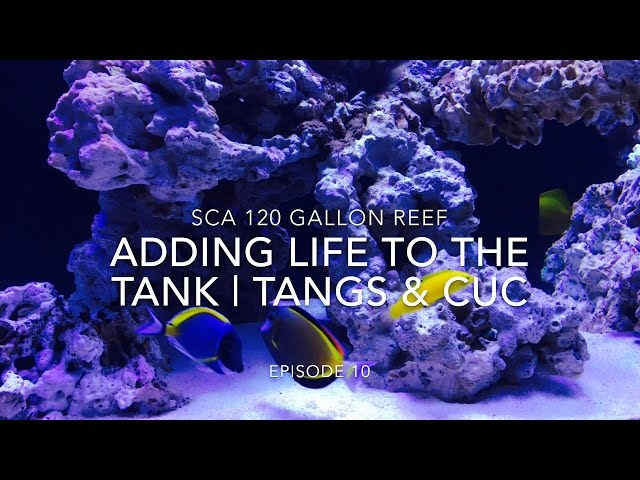 SCA 120 Gallon Reef Tank | Ep.10 | Adding Life To The Reef - Tangs, Angels & Clean Up Crew
