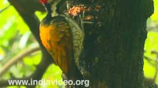 Lesser Goldenbacked Woodpecker or Dinopium benghalense