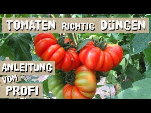 Tomaten erfolgreich Düngen - so macht es der Profi