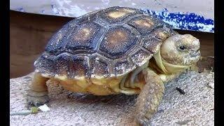 Desert Tortoises Laws Regarding