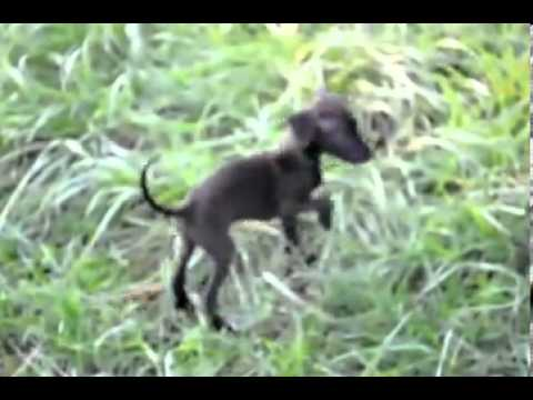 Riley Italian Greyhound (video) shipping included