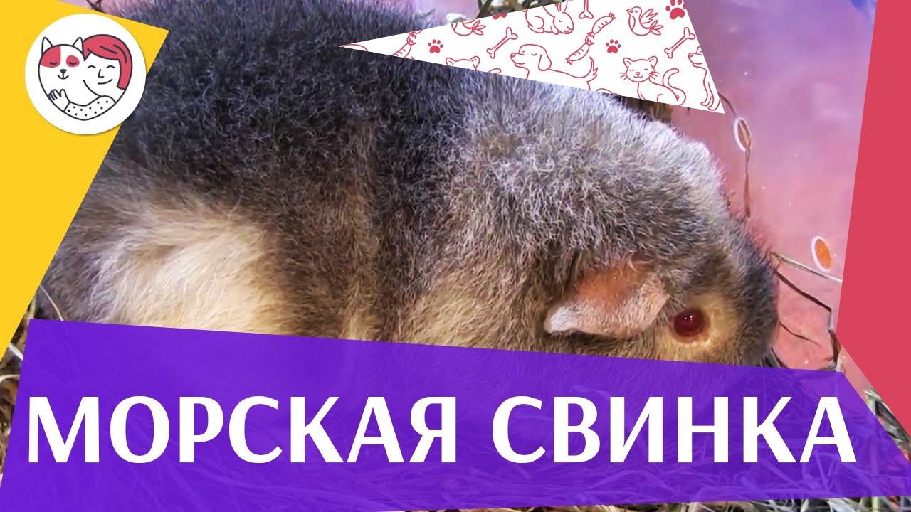 Морская свинка Дрессировка на ilikepet