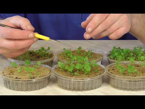 Как вырастить клубнику земляникү из семян. Ч.1