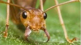 Смотреть онлайн Дикие муравьи атаковали беззащитного богомола