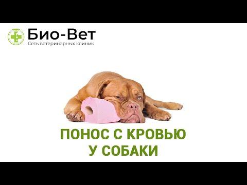 Понос с Кровью у Собаки - Причины и Что Делать // Сеть Ветклиник БИО-ВЕТ