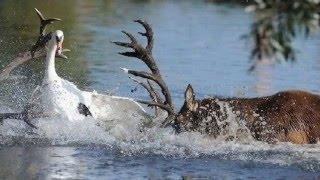Гордые и бесстрашные лебеди - 2. Swan attack!
