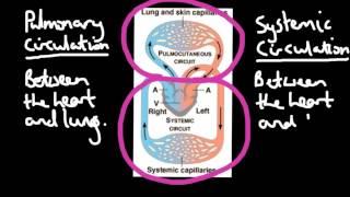 Double Loop Circulation