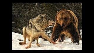 Nat Geo Wild - Grizzly Bears Vs Wolves - Bear Fights Wolf - Grizzly Cauldron