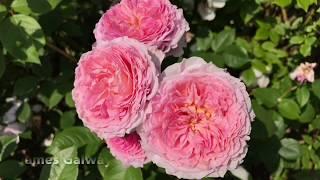 Everyone Can Grow A Garden #21: David Austin Roses Display Garden