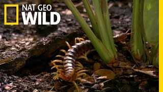 The Giant Centipede Has an Unexpected Meal | Nat Geo Wild