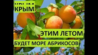 Крым. Этим летом будет много дешевых абрикосов!!!!!!!!!!!