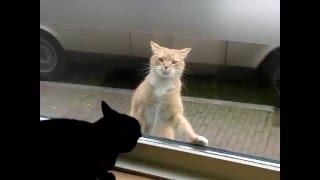 Коты дерутся через стекло