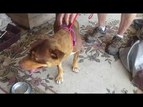 Claudia, an adopted Rottweiler & Shar-Pei Mix in Bandera, TX