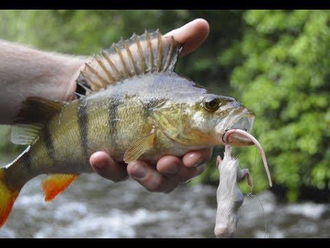 Overfladefiskeri med døde mus i åen
