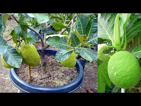 HOW TO GRAFT A JUCKFRUIT TREE (MULTIPLE  ROOT)