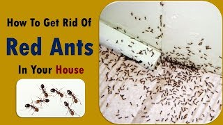 tips to get rid of red ants - Kill ANTS -How To Get Rid of Ants in Your House Naturally