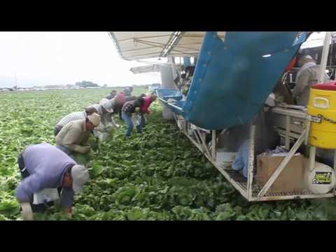 How Lettuce Gets Harvested