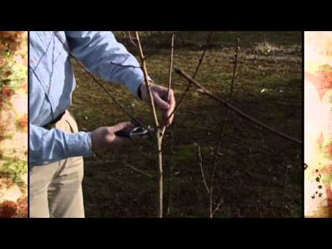 Training and Pruning Fruit Trees - YouTube