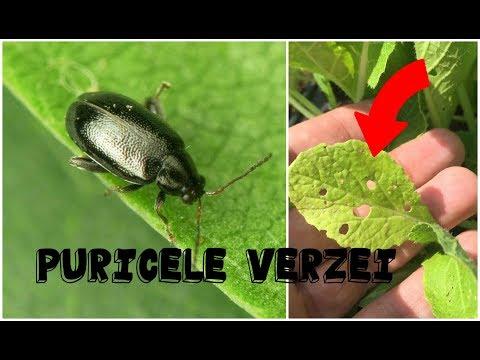 Ce parazit provoacă papiloame