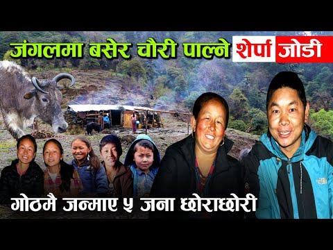 चौरी गोठमा जन्मिएका शेर्पा दिदीबहिनी, बा–आमालाई सघाउँदै पढाई अघि बढाउँदै !│Nepal Chitra