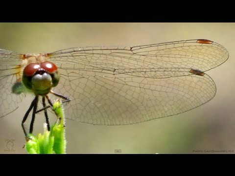 Dragonfly Wings Are Amazing In Slow Motion