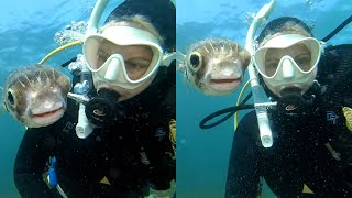 Curious Pufferfish Wants A Selfie