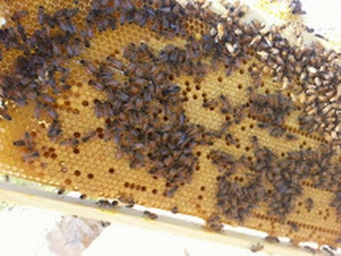 пчеловодство. Мой первый пчелиный рой 4 история