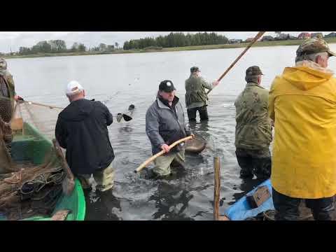 Wideo1: Akcja odławiania ryb ze zbiornika w Rydzynie
