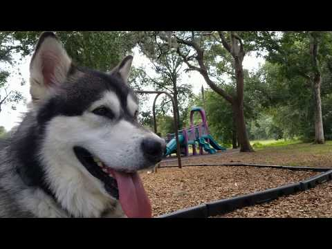 Impatient Malamute Wants To Play!