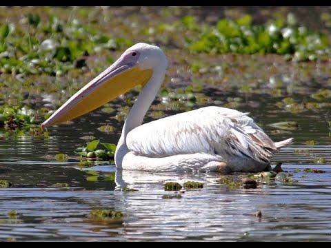 Great White Pelicans feeding in Lake Elementeita