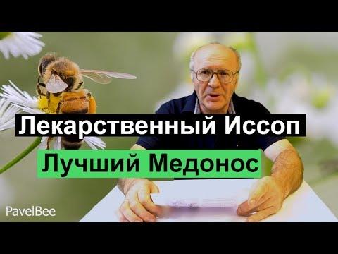 №128 Лекарственный Иссоп, Лучший Медонос Пчеловодство для начинающих | Пасека Мёд до 320 кг с га.