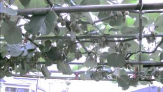 キウイフルーツ栽培記録