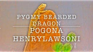 PYGMY BEARDED DRAGON GENERAL INFO & ENCLOSURE CHANGE
