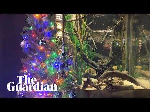 Elektriese paling maak die krag vir Kersboom by akwarium