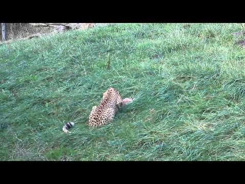 De jonge cheetahs vieren hun eerste verjaardag Zoo Parc Overloon
