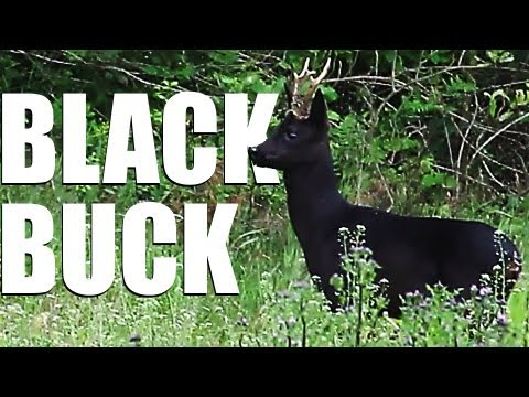 Fieldsports Britain – Max Hunt's black roebuck + Andy Crow on the pigeons