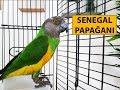 Senegal Papaan Bakm zellikleri