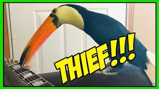 My Toucan is A Guitar Pick THIEF!!! 😡😠
