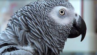 Einstein vs Griffin | The World's Smartest Parrots | Extraordinary Animals | Earth