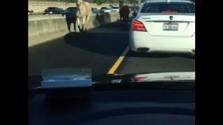 Raw: Horse, Mule Take Free Rein on Highway