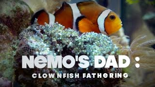 Thumbnail of Nemo's Dad: Clownfish Fathering video