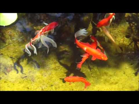 how to grow plankton in fish pond