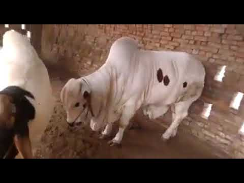 Beautiful White Panda Heavy Big Bulls for Bakra Eid 2018 Eid