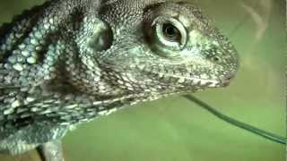 Frilled Lizards Male & Female: Helping Frilly Recover!