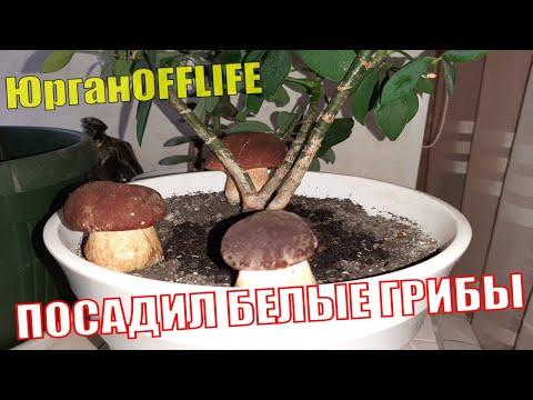 ЕСЛИ НЕ ВЕРИТЕ, ТО ЛУЧШЕ НЕ СМОТРЕТЬ! Выращивание белых грибов в домашних условиях. Белый гриб дома.