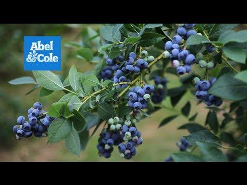 The Dorset Blueberry Company