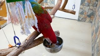 Macaw Caches Food in Bowl - Santina Green-Winged Macaw
