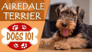 Dogs 101 - AIRDALE TERRIER  - Top Dog Facts About AIREDALE TERRIERS