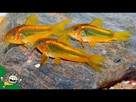 Fish Room Update #22 Orange Laser Corydoras Spawning - Brine Shrimp Hatchery. CW010